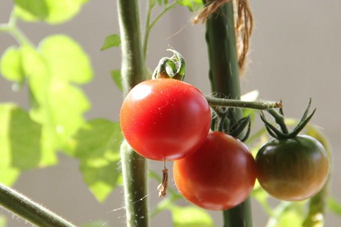 tomato20150610