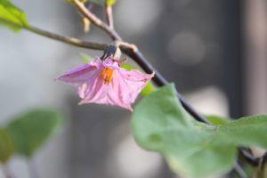 プランター栽培ナスの花