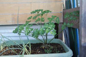 プランター栽培セロリ