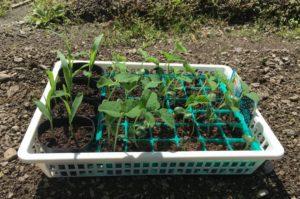ポット育苗、枝豆