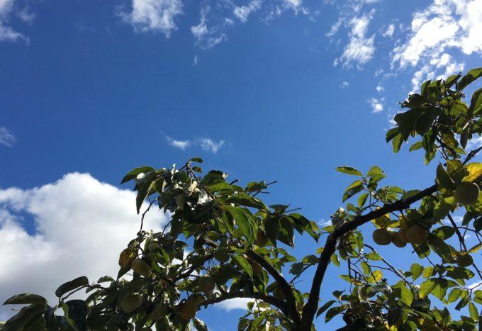 次郎柿と空