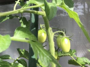 不織布プランター栽培トマト