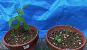 銀不老豆とオクラ