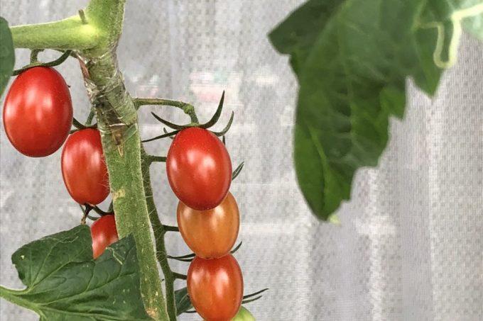 20180701ミニトマト