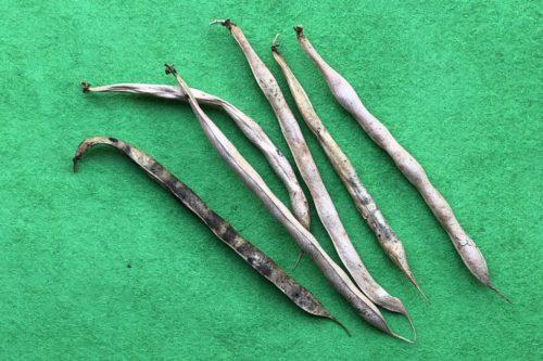 銀不老豆収穫