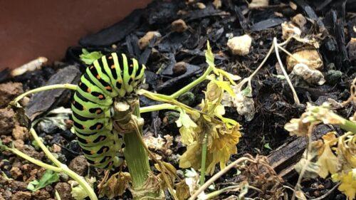 パセリ食べるアゲハチョウの幼虫